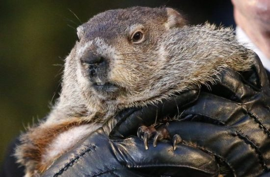Punxsutawney Phil doesn't see his shadow on Groundhog's Day 2016, Spring to come early.