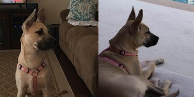 "A Leesburg family is offering a reward for the return of a beloved missing family member, 1-year-old German Shepard-Lab mix, ""Blondie""."